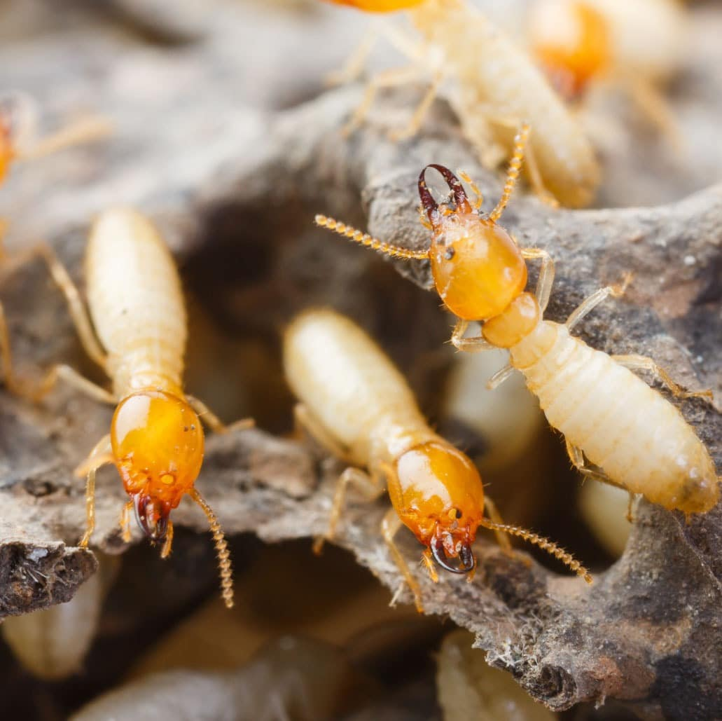 Termite Control And Prevention In Phoenix Insectek